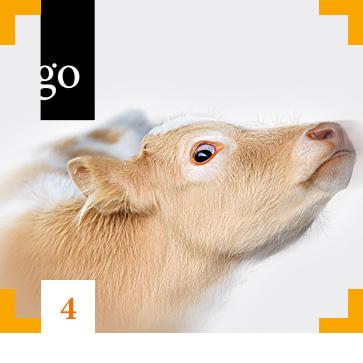 Modul 4: Tierschutz und Transport: Langzeittransporte nicht abgesetzter Kälber
