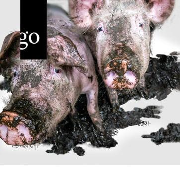 Saubere Schweine - gesunde Tiere = gesunde Lebensmittel