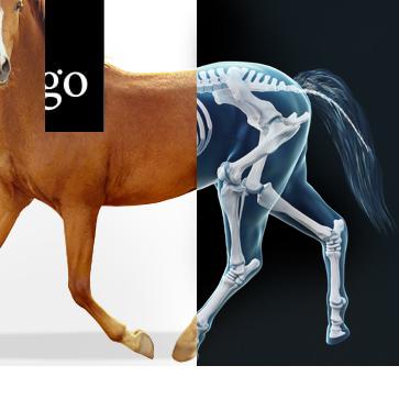 Röntgenuntersuchung der Gliedmaßen beim Pferd