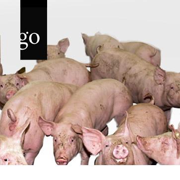 Tierseuchen und Schweinegesundheit - Aktuell 2020