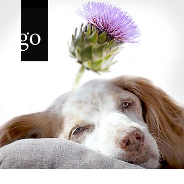 Lebererkrankungen des Hundes