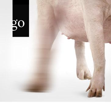 Diagnostik im Schweinebestand – Fokus Bewegungsapparat